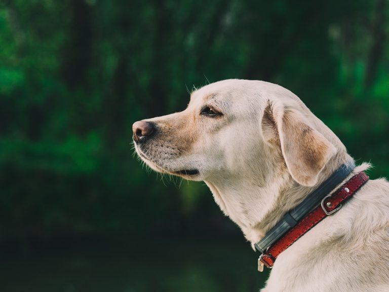 Collier pour chien : du classique aux nouvelles tendances