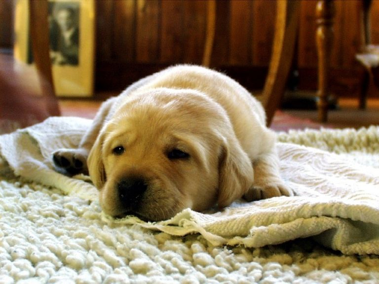 Acheter un tapis pour chien pour avoir un environnement propre