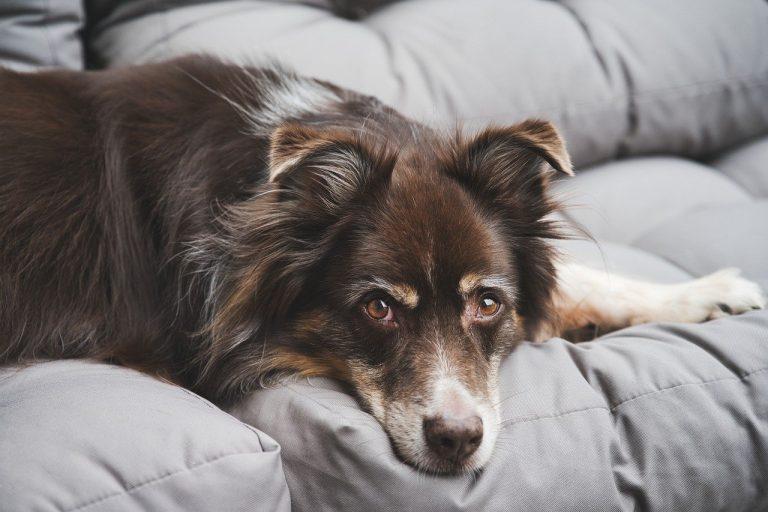 Pourquoi souscrire une assurance pour chien ?