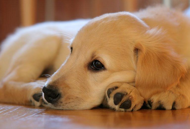 Comment tuer les puces d'un chien?